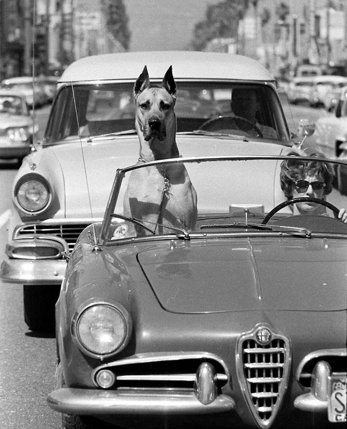 Un Gran Danés De Guardaespaldas En Un Coche Deportivo. Hollywood, California 1961