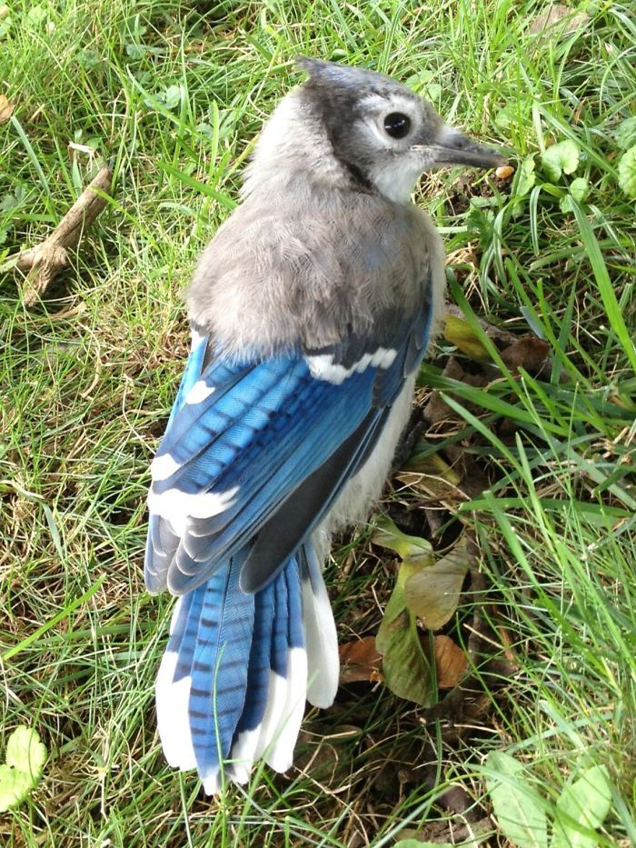 This Blue Jay Still Has Half Of Its Baby Feathers