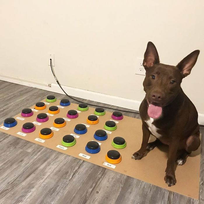 """""""Happy Ball Want Outside:"""" Dog Learns To Talk Using A Word Machine, Already Knows 29 Words"""