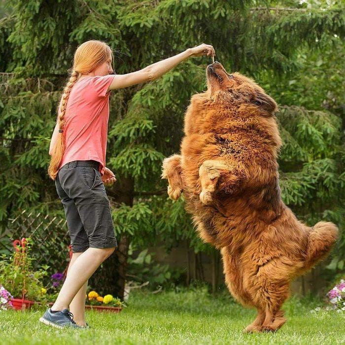 Dancing With Tibetan Mastiff