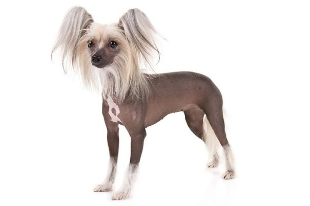 Chinese-Crested-On-White-01-5dc2f62e2dc68.jpg