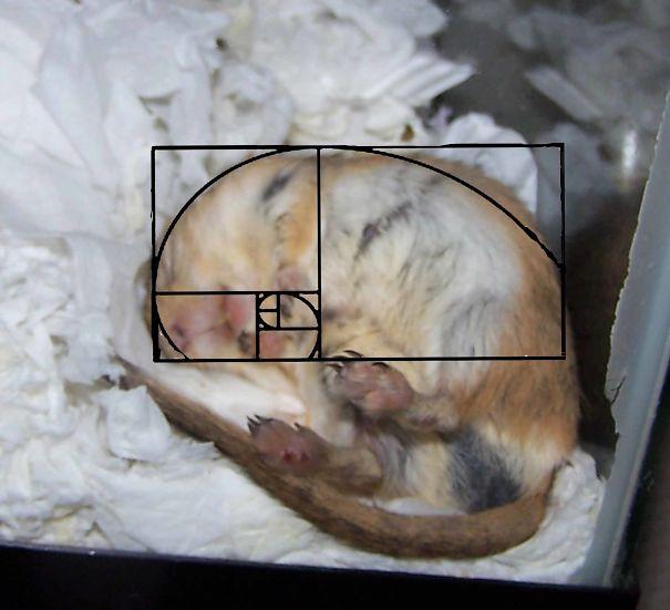 FIBONACCI-SPIRAL-RMUSEY-Proves-gerbils-are-pefect-5ddd94959ae94.jpg