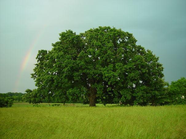 Ohio-oak-and-rainbow-5dd43e2c58a99.jpg