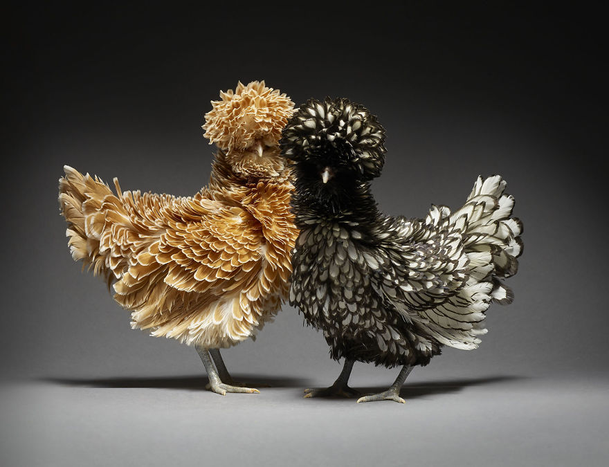 We Photographed Hundreds Of The Most Beautiful Chicken Couples And They Fell In Love, Literally!