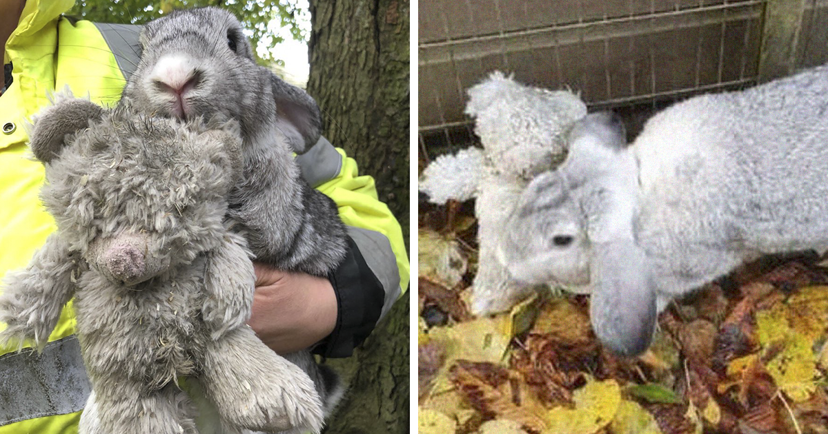 Abandoned Bunny Is Found On The Side Of The Road Cuddled Up To Its Favorite Teddy Bear, Gets Rescued