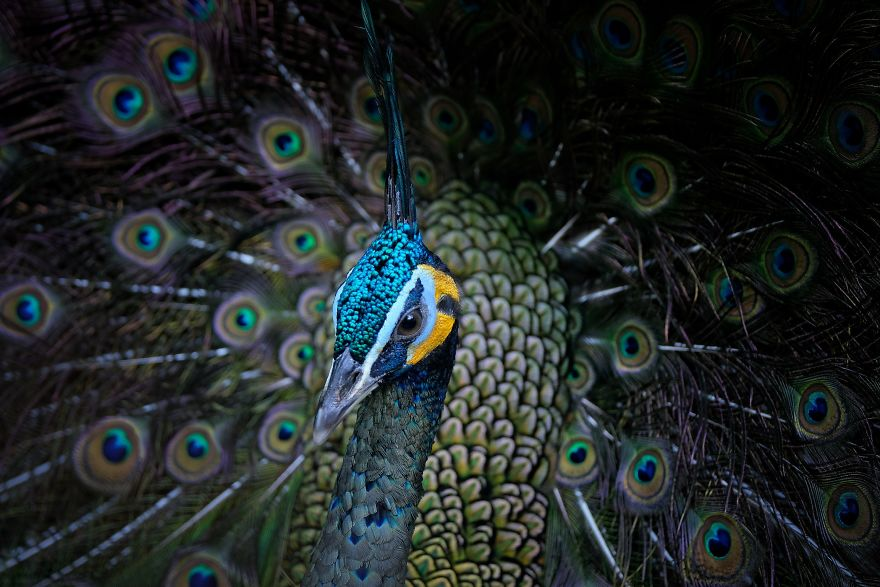 Brilliant Peacock