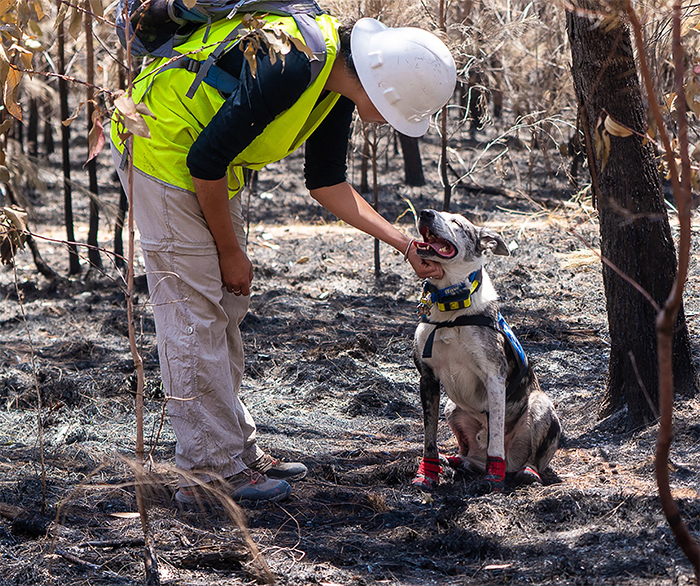 This Hero Dog Has Been Tasked With Finding Koalas That Have Survived Australia's Bushfires