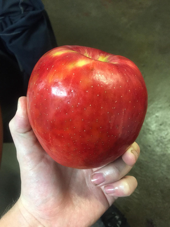 This Massive Apple My Coworker Brought In. 1,2 Lbs