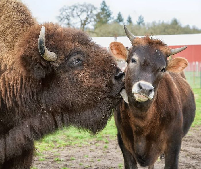 Blind, Lonely And Ignored By All Other Animals, Helen, The Bison, Seemed Destined For Loneliness, But Then She Met Oliver