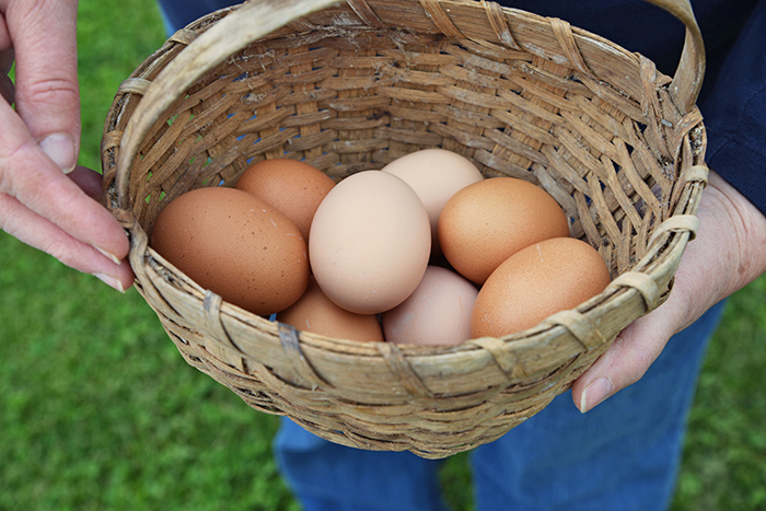The Color Of Chicken Eggs Usually Coincides With The Color Of Their Earlobes
