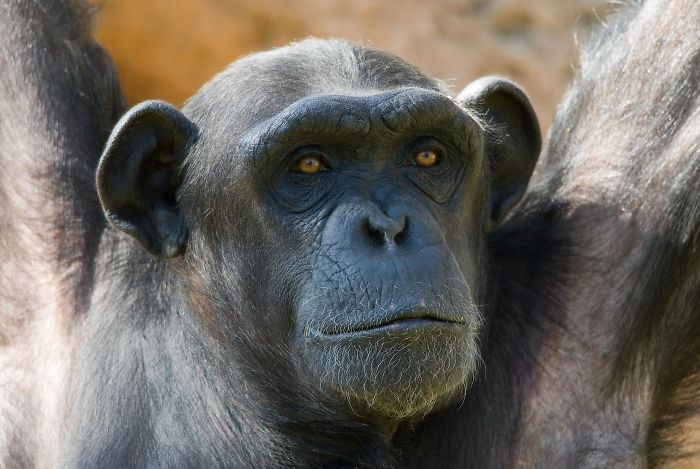 Humans Did Not Evolve From Either Of The Living Species Of Chimpanzees