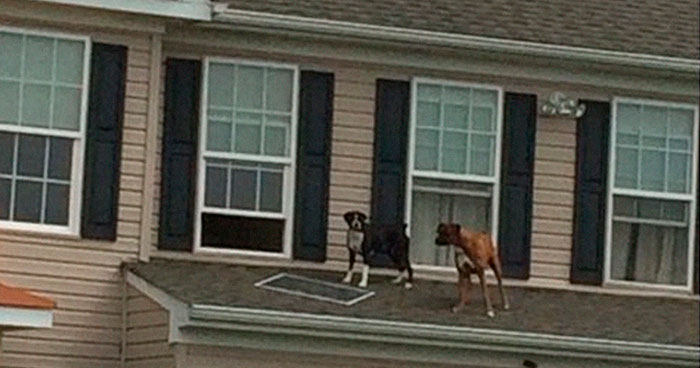 2 Dogs Push Out And Get On The Roof, Neighbor Documents The Hilarious Attempts To Make Them Go Back Inside