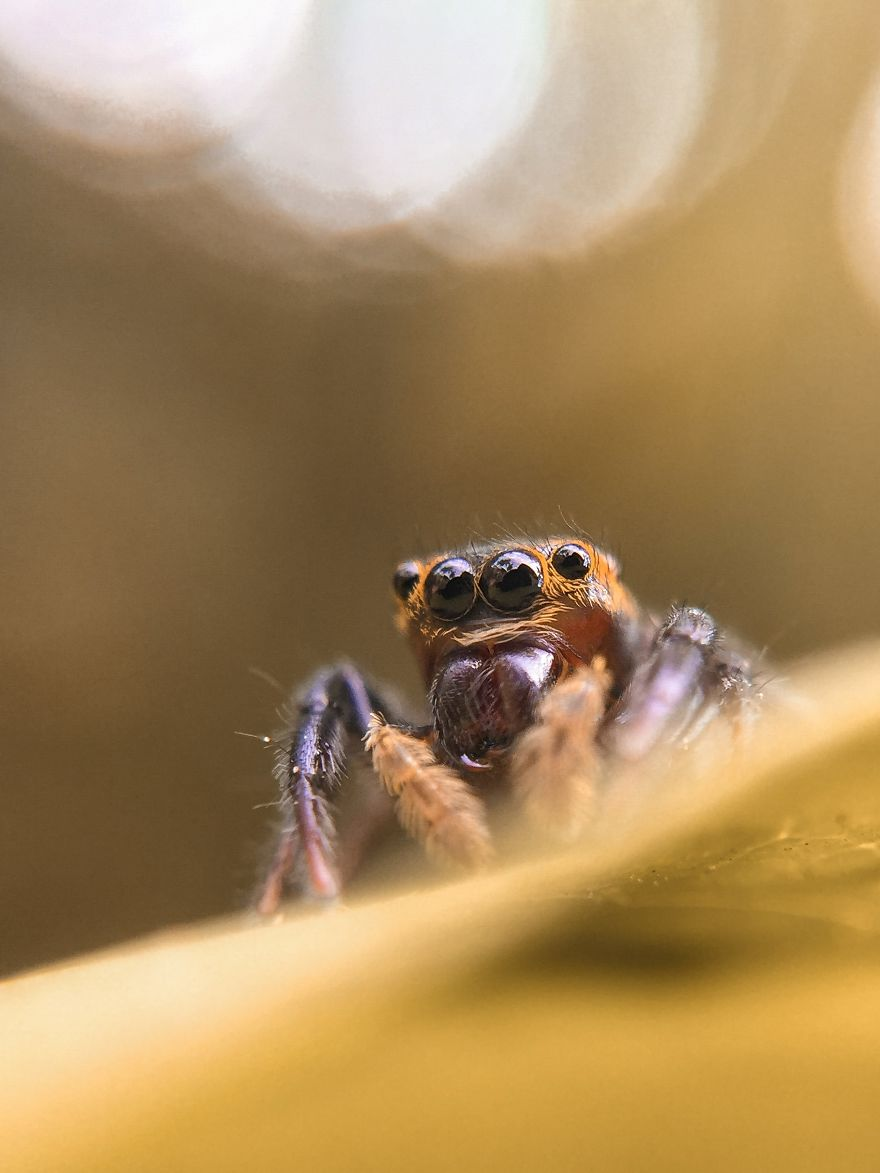 A Jumping Spider's Eyes
