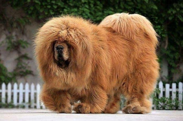 Mastiff From China