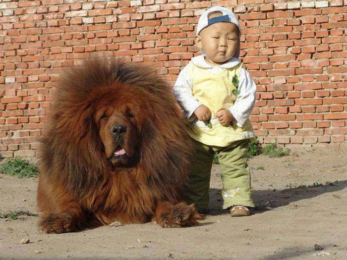Tibetan Mastiff Bodyguard