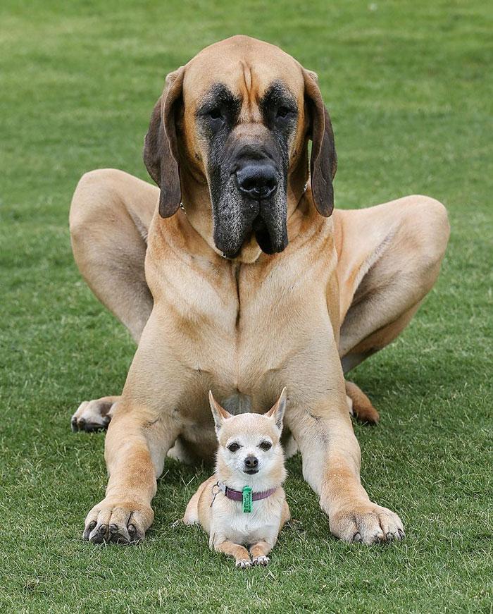 Ryder El Gran Danés Que Pesa 87 Kg Con Su Amigo Aliado El Chihuahua Que Pesa 2 Kg