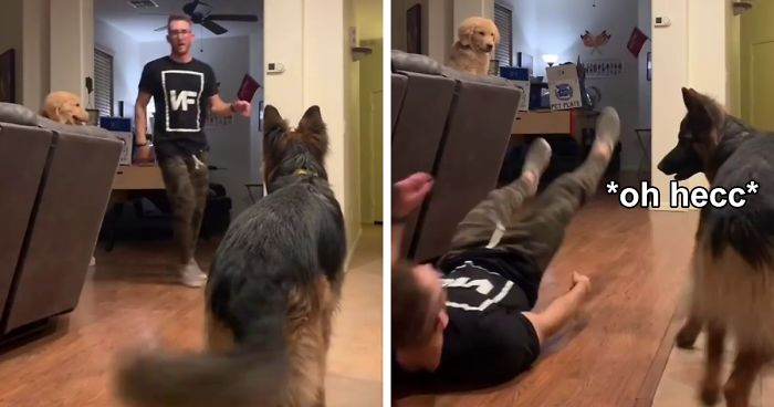 Goldie And German Shepherd In Panic After Owner 'Collapses', Have A Conversation On What To Do Next