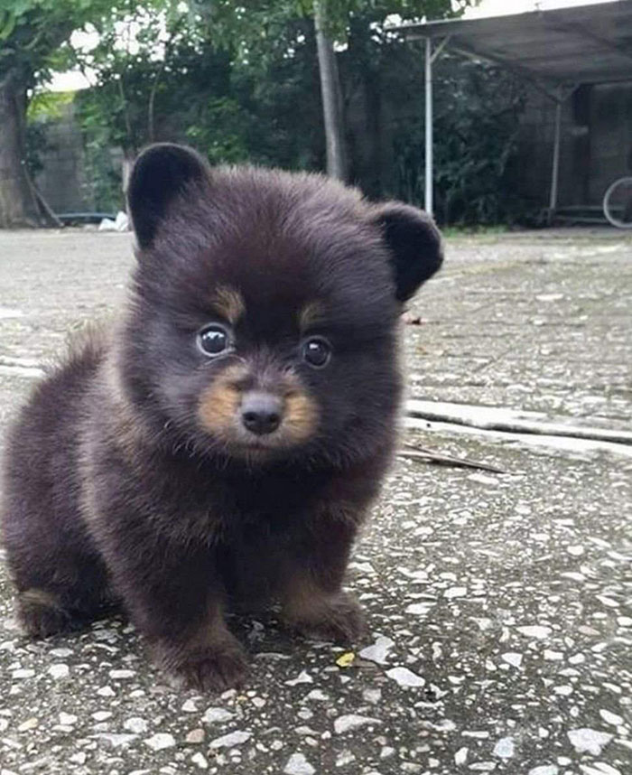 World's Smallest Adult Bear Discovered In Hawaii