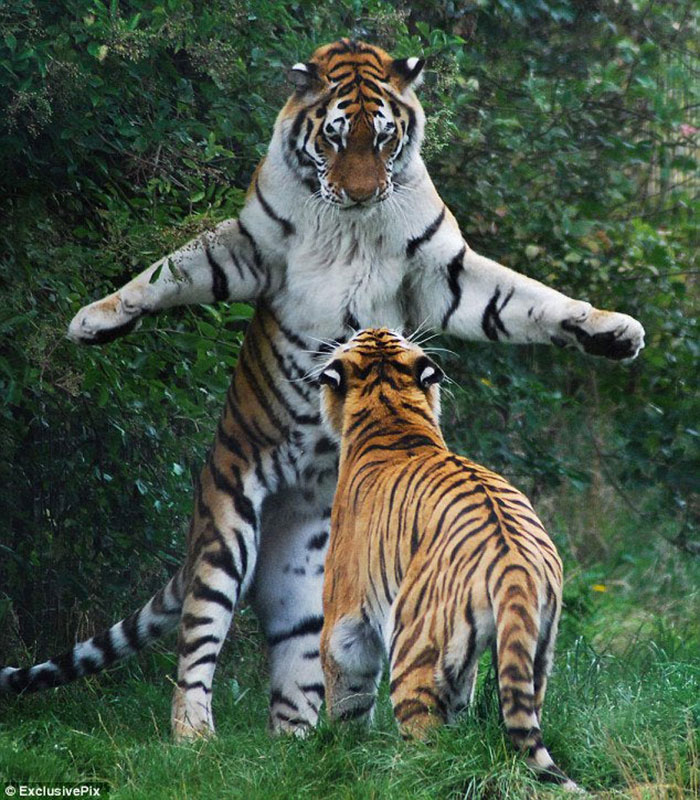 Bengal Tigers Are Avid Fishermen Who Constantly Boast About Size Of Their Catch