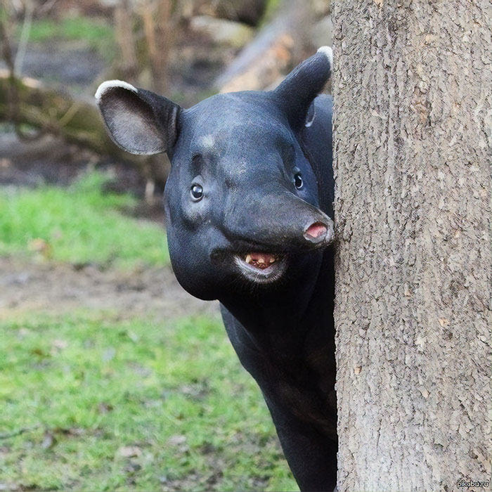 "Commonly Referred To As ""God's Mistake,"" The Tapir Is The Result Of An Unholy Union Of Donkey And Elephant"