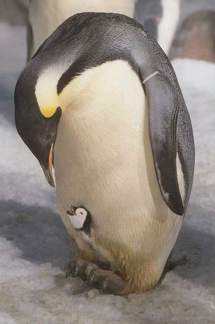 When A Male Emperor Penguin Stares At His Erection, A Reflection Of His Younger Self Stares Back