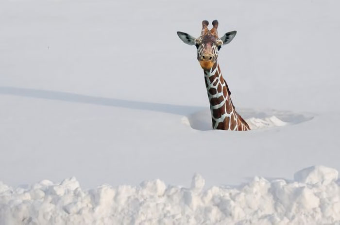 Giraffes Evolved Their Long Necks To Help Them Survive In Even The Deepest Arctic Snow