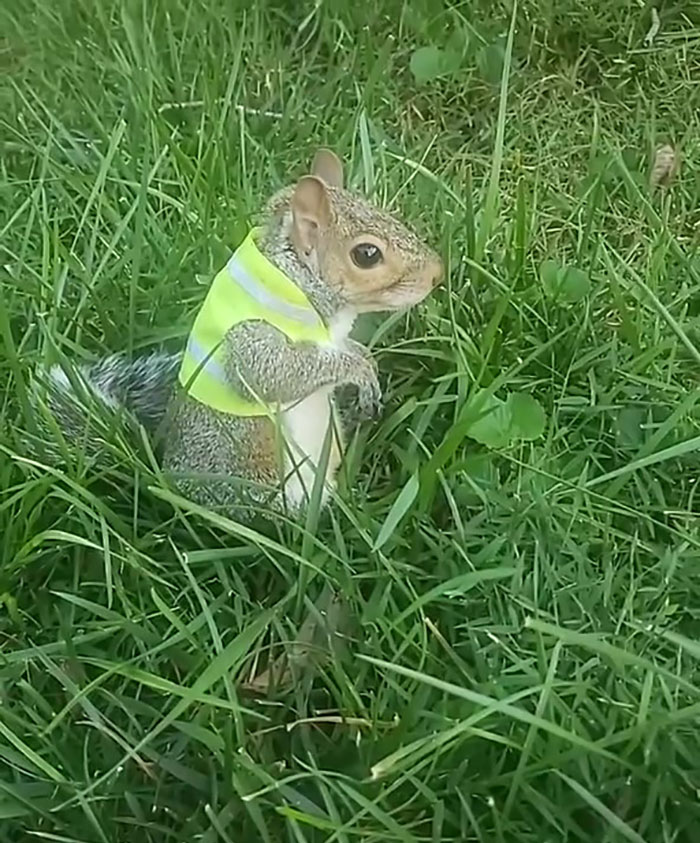 Squirrels Are Frequently Being Employed As Construction And Groundskeeping Crews