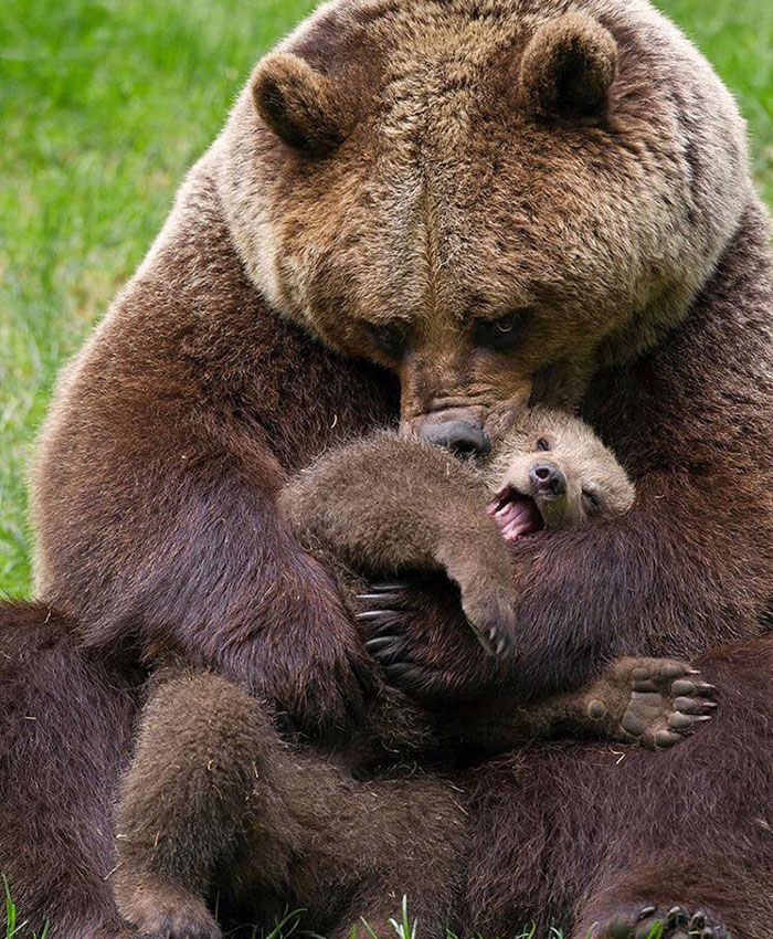 Survival Of The Fittest Is Often Displayed In Bears. Here A More Dominant Bear Absorbs A Smaller Bear To Become Even Larger