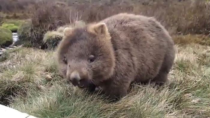 If A Bear Cub Feels Disgusted By Meat And Instead Chooses A Purely Vegetarian Lifestyle, It Is Known As A Wombat