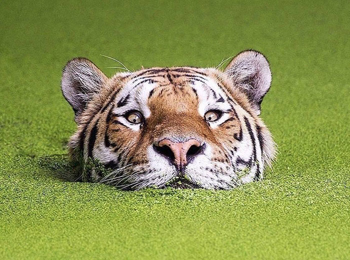 Having A Tiger Hazard Is The Latest Thing In Golfing