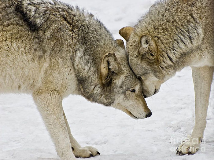 Wolves Are Telepathic But Their Range Is So Weak They Need To Make Physical Contact To Get Their Thoughts Across