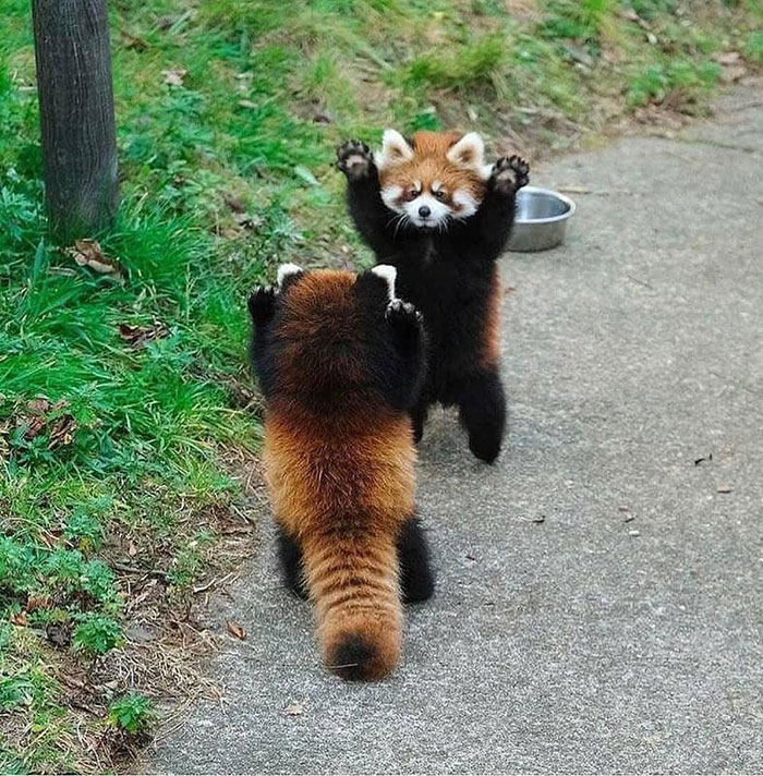Red Pandas Are Known Fans Of Dragon Ball Z And Can Often Be Seen Re-Enacting The Fusion Dance