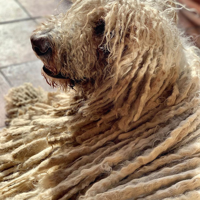 Mop Dog Named Hanga Goes Viral For Her Swimming Video And She's Lucky Her Owner Is A Pet Groomer
