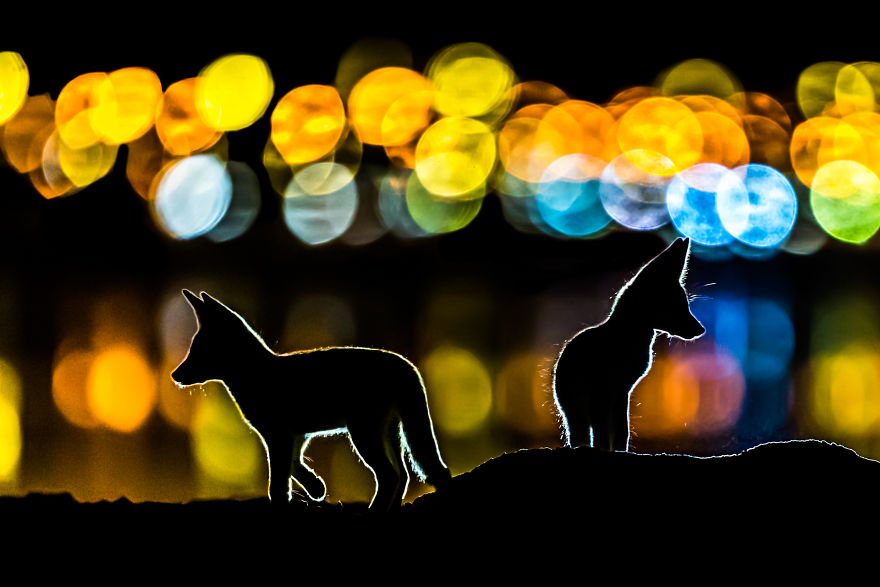 Category Mammals Highly Commended: 'Colorful Night' By Mohammad Murad (Kw)