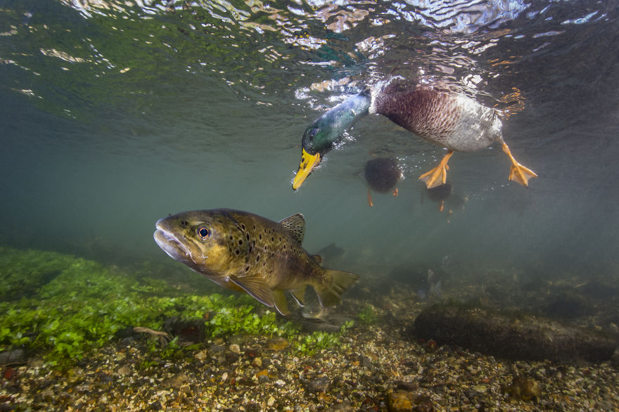Category Underwater Highly Commended: 'Duck Photo Bomb' By Paul Colley (UK)