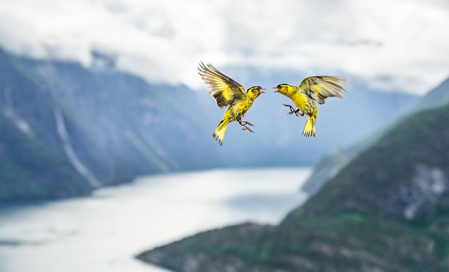 Category Birds Highly Commended: 'Fjord Fight' By Bernt Østhus (No)