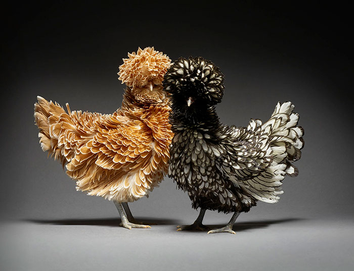 Our 24 Chicken Couple Photographs Show The Diversity Of Love