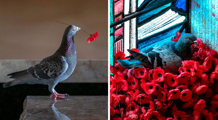 Pigeon Builds A Nest After Stealing Poppies From An Unknown Soldier's Grave