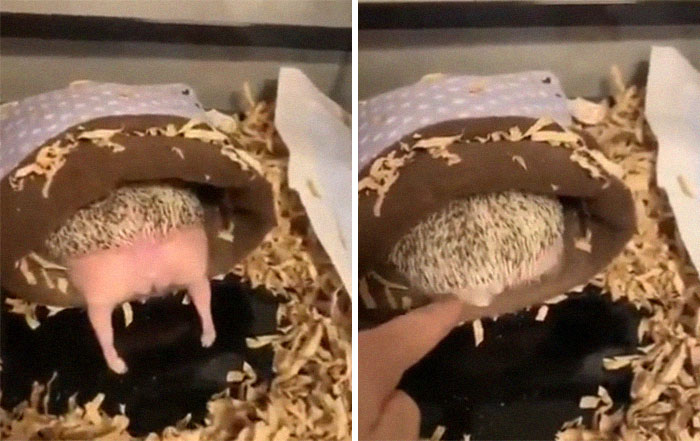 Person Notices How Defenseless Hedgehogs Become When Sleeping, And This Butt Thread Will Make Your Day
