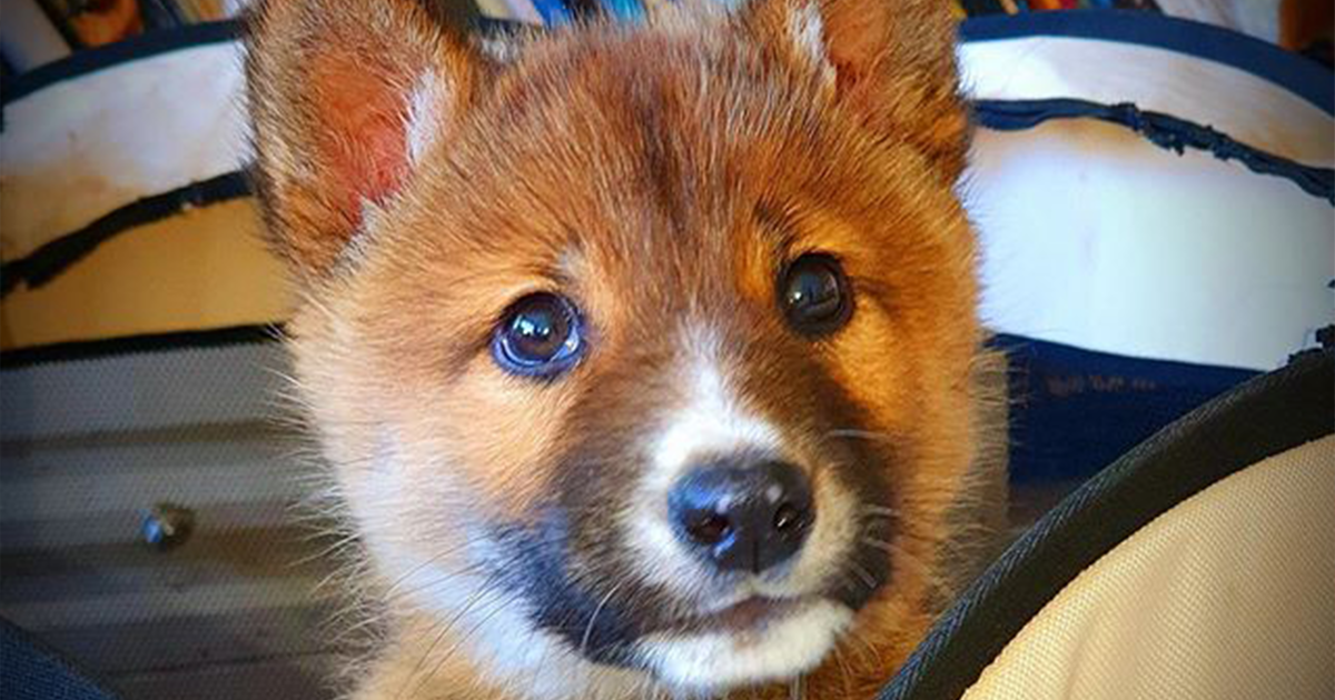 Stray Puppy That Was Dropped By A Bird In The Backyard Turns Out To Be An Endangered Dingo