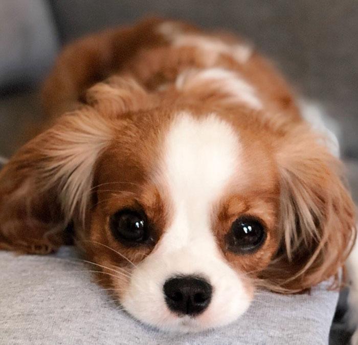 Tiniest-Cavalier-Puppy-Nessa