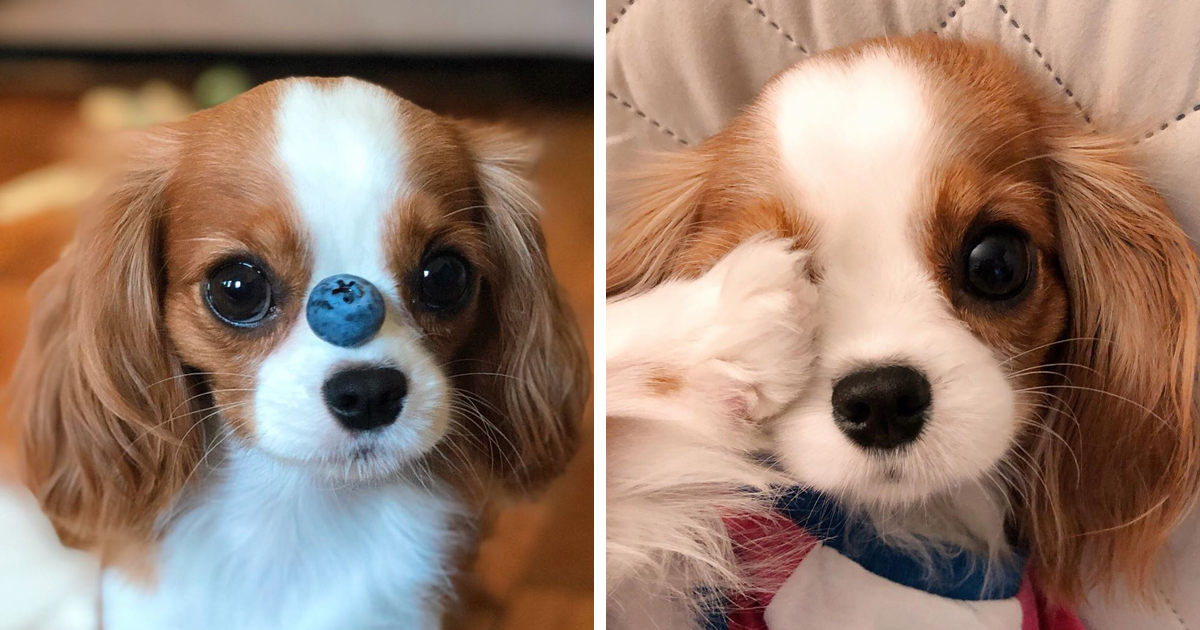 This Tiny 2-Year-Old Cavalier Weighs Only 7lbs And Looks Like A Plush Toy