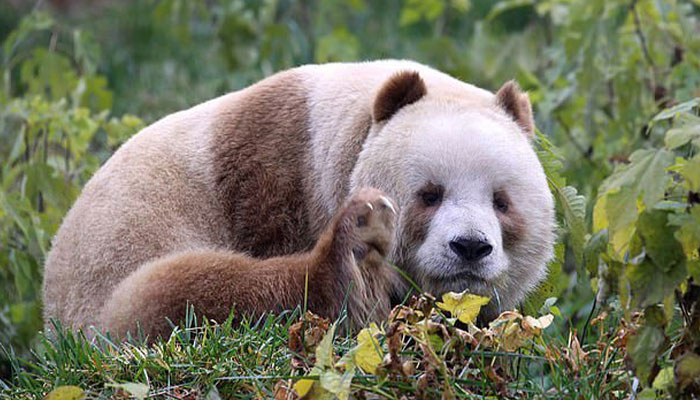 The World's Only Captive Brown Panda That Was Bullied As A Cub Gets Adopted