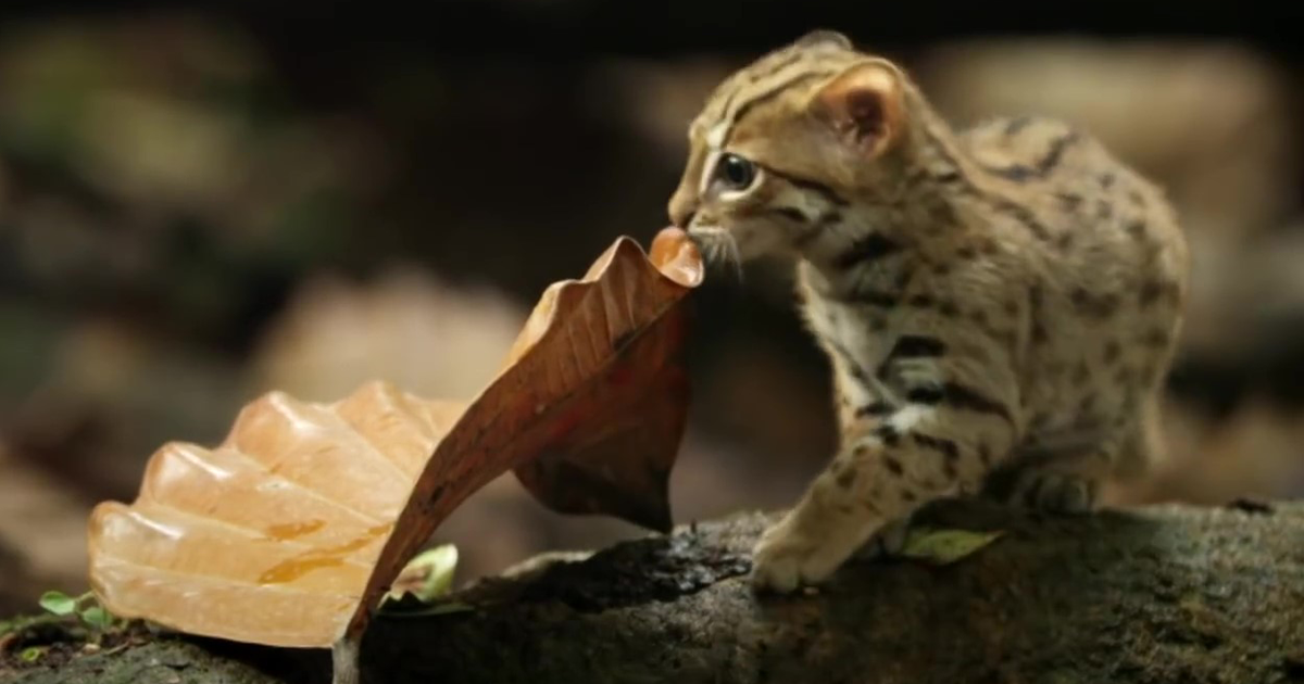 Meet The Rusty Spotted Cat, The World's Smallest Wild Feline
