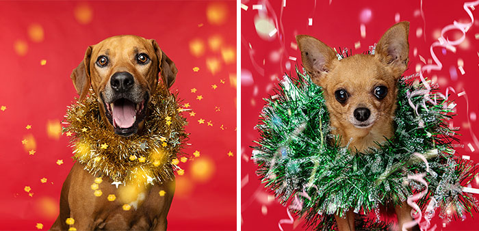 I Did A Photoshoot Called '12 Dogs Of Christmas' To Get Into The Holiday Spirit