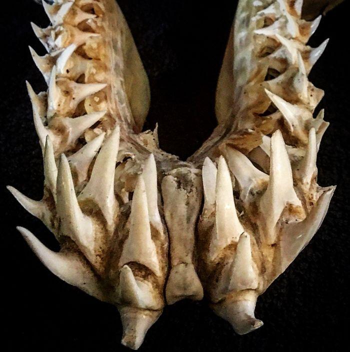 The Teeth Of A Mako Shark