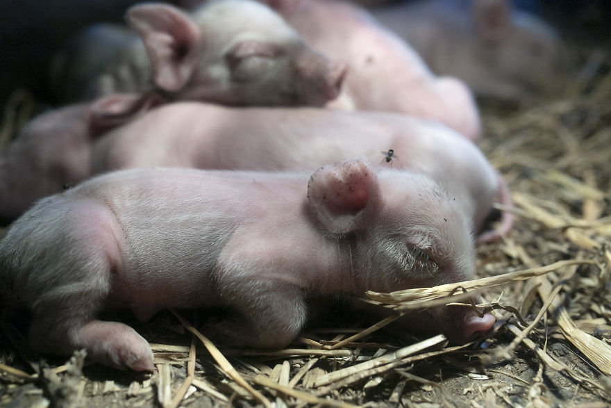 Sleeping Piglets On A Pig Farm