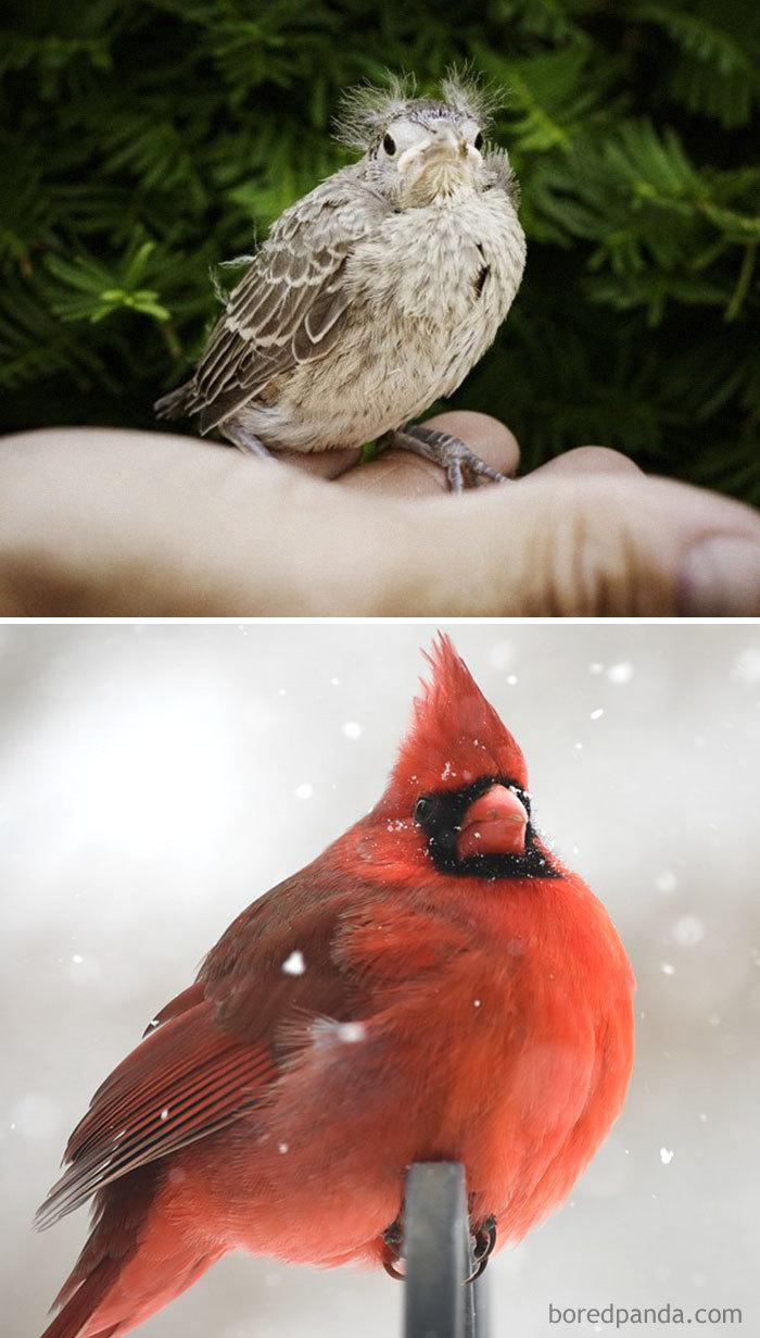 Cardenal rojo