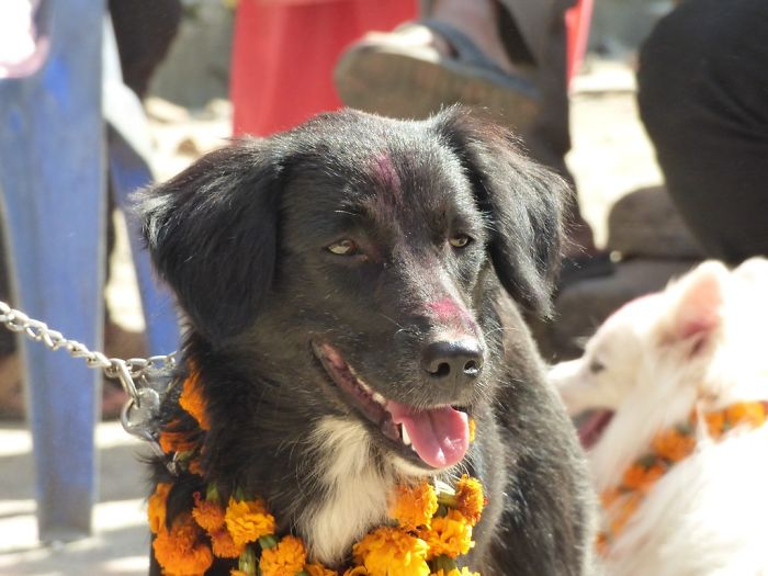There's A Festival In Nepal And India Where Humans Thank Dogs For Their Loyalty And Friendship