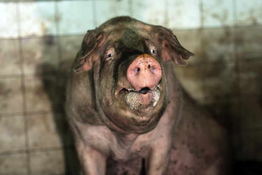 Dirty And Exhausted Pig On A Pig Farm In Poland